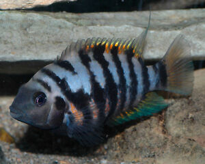 Sell some african cichlids fish