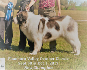 Rare, Giant-Sized, Ancient Breed, Pyrenean Mastiff Puppies!