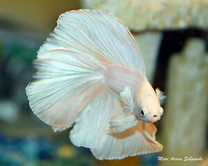 Looking for a white halfmoon betta