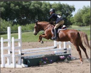 Cinnamon Hearts Welsh / Quarter horse