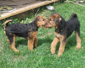 Female Airedale Terrier
