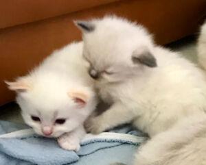 Ragdoll and Ragdoll Himalayan kittens