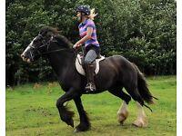 Black cob mare