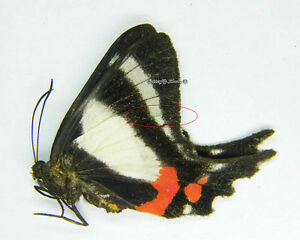 Unmounted Butterfly/Riodinidae - Ancyluris formosissima venerabilis, FEM 1, RARE - Wieliczka, Polska - Damaged specimen in transport or non-conformity of the product with a description of the auction - Wieliczka, Polska