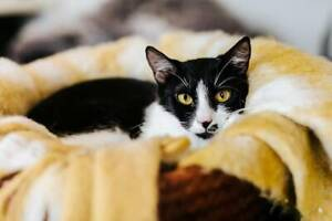 1835 : Dashi - CAT for ADOPTION - Vet Work Included