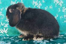 Pure Dwarf Lop Bunny ♥ Hamley Bridge Wakefield Area Preview