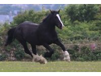 Heavy cob 15hh mare 9 years old.