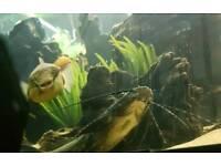 Leiarius pictus catfish