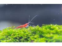 Red Sakura Shrimp