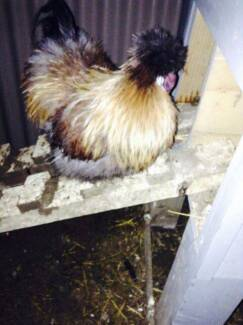 9 Month old silkie Rooster Mount Barker Mount Barker Area Preview