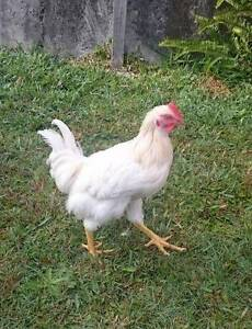 Rooster for adoption - free Mansfield Brisbane South East Preview
