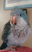 BLUE  QUAKER   BABY AVAILABLE  NOW. Tewantin Noosa Area Preview