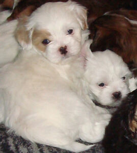 beautiful lhasa apso puppies