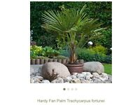 We are looking for a Fan Palm Tree for our garden