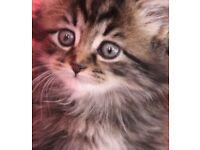 Stunning ragdoll X bsh mix kittens