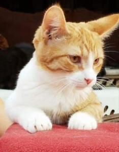 """Young Male Cat - Domestic Short Hair-Tabby: """"Tom tom"""""""
