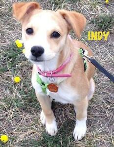 "Young Female Dog - Terrier: ""Indy"""