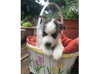 Beautiful Kc Reg Siberian Husky Pups