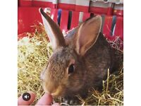 7 month old female rabbit free to good home