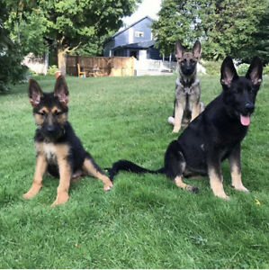 REDUCED PRICE   EXCELLENT GERMAN SHEPHERDS PUPPIES