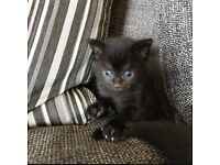 2 All Black Beautiful Kittens Looking For Forever Homes.