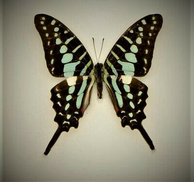 Striped swordtail real butterfly Graphium policenes SET x1  Specimen entomology