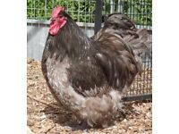 Large fowl Orpington Chickens for sale