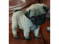 Gorgeous pug puppys for sale