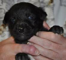 "WOLFHOUND X PUPPIES - Longdog ""LURCHERS"" McLaren Vale Morphett Vale Area Preview"