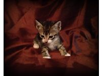 beautiful tabby kitten for sale