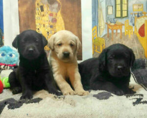 Price Reduced-BLACK & YELLOW LABRADOR (LAB) PUPPIES-Ready to go