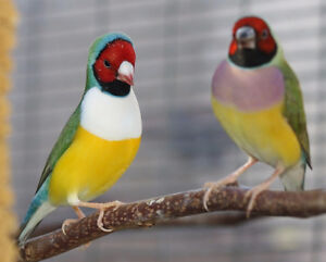 GOULDIAN finches in full colour. Females less than 1 yr. old.