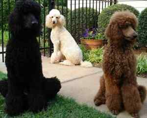 Seeking standard poodle owners in North Bay