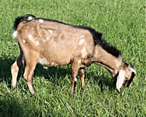 Standing at stud, to service your dairy goats, purebred NUBIAN