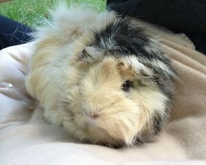 Peruvian Guinea Pig Looking For A New Home