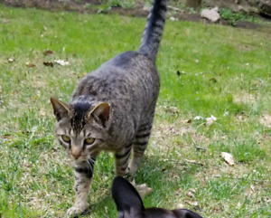 Lost Grey and black Tabby Cat