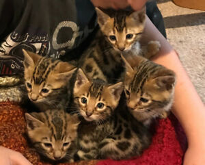 Purrfect Bengal Kittens to join your life!