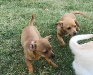 Chihuahua | Adopt Dogs & Puppies Locally in British Columbia