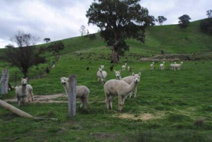 Alpaca 10 quality females, can be registered Yea Murrindindi Area Preview