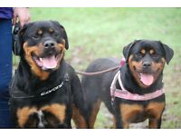 2 Rottweilers for rehoming