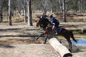 Thoroughbred gelding horse for sale Bobbie 15.3h 12yr PC Eventing Toowoomba Toowoomba City Preview