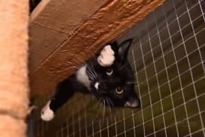 AK2740 : Spiro - CAT for ADOPTION - Vet Work Included