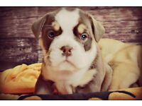 Incredible Chocolate Tri Olde English Bulldog puppy