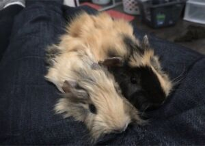 2 young guinea Pigs including everything