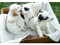 Cavalier king charles spaniel cross springer spaniel puppys
