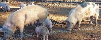 3 Berkshire x Large White Pigs Comboyne Port Macquarie City Preview