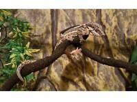 Gargoile Gecko + viv