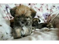 Special T cup Shorkie puppies (Yorkie shihtzu Yorkshire Terrier x shih tzu shitzu)