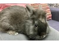 Lionhead female Rabbit with Cage, hay and Straw - 55