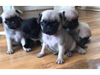 pug puppies... ready for there new forever homes.....